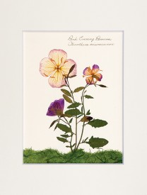 Evening Primrose Botanical Print
